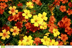 Yellow And Orange Small Garden Flowers Stock Image - Image Of Leaves for Garden Flower Yellow Or Orange